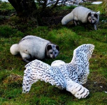 You are browsing images from the article: Highland Wildlife Park - ogród zoologiczny w największym Parku Narodowym UK